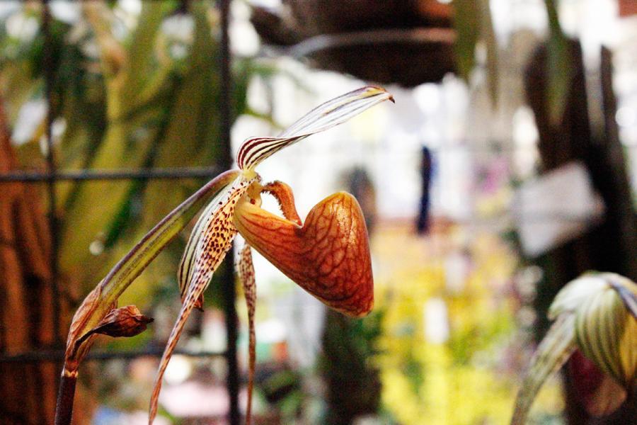 Alicia O. Cariño - Exposición de orquídeas de primavera 2017